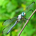 Great Blue Skimmer - Libellula vibrans - male