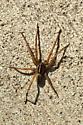 Rapid Wolf Spider - Rabidosa punctulata