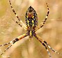 Argiope aurantia - female