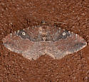 Orthonama obstipata - female - Orthonama obstipata - female