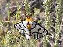 Sagebrush Moth - Hemileuca hera - male