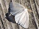 Lepidoptera moth - Ennomos subsignaria