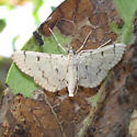 Pale Pyraustine on Black Mangroves - Blepharomastix achroalis