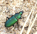 green beetle beneath cow pie - Poecilus diplophyrus