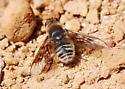 Thyridanthrax Rests on the Rocky Trail - Thyridanthrax andrewsi