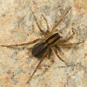 Wolf Spider - Pardosa distincta