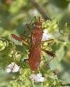 Assasin or Seed Bug? - Megalotomus quinquespinosus