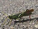 Grasshopper ID? - Schistocerca albolineata - male