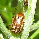 Beetle. What genus and species? - Cryptocephalus incertus