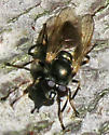 Unidentified Fly - Lejota aerea - female