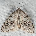Clemensia albata - Clemensia umbrata