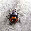 Is this an immature type of Stink bug? - Bagrada hilaris