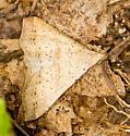 Triangular Moth - Renia salusalis - male