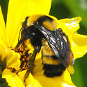 largest-bee-I've-ever-seen on Encelia - Bombus sonorus