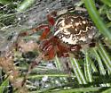 Marbled orb weaver-Araneus marmoreus - Araneus marmoreus