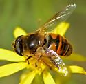 Syrphus Fly - ID to species? - Eristalis tenax