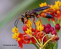 Great Golden Digger Wasp (Sphex ichneumoneus)  - Sphex ichneumoneus - female