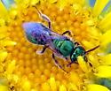 Green bee - Augochlorella aurata - female