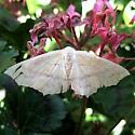 Color variant - Sabulodes aegrotata