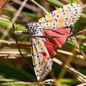 Very nice looking moth - Utetheisa ornatrix