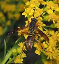 Wasp sp? - Polistes fuscatus