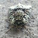 lichen camo moth - Lacinipolia explicata