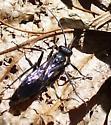 medium-sized wasp - Priocnemis minorata
