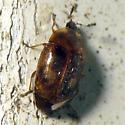 Tiny-headed Beetle - Clypastraea lunata
