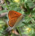 Is this a Lustrous or Ruddy Copper? - Lycaena rubida - male