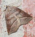 Moth - Isogona tenuis