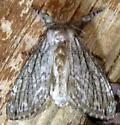 9/5/19 moth 2 - Dasychira atrivenosa