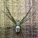 Spider 051216 - Leucauge venusta
