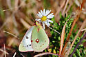 Green Butterfly - Colias eurytheme - female