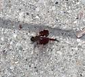 brownish bug sitting on sidewalk - Tramea carolina