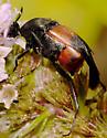 Beetle - Macrosiagon cruenta