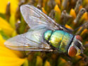 Glossy Green Fly #2 - Lucilia
