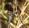 Trichopoda ? - Trichopoda lanipes