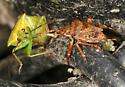 brown stink bug eating cross shield bug - Podisus brevispinus