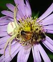 Flower Crab Spider with Prey - Misumena vatia - female
