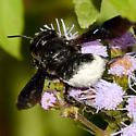 black and white bee - Megachile xylocopoides