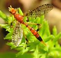 Wasp ? - Pyrgotella chagnoni