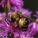 Compact pollen-laden bee on Vernonia - Melissodes communis