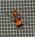 orange and black velvet ant? - Enoclerus ichneumoneus