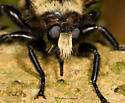 Bumbly robber - Laphria grossa - female