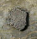 Unknown Nest on branch - Arilus cristatus