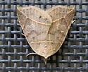 Thin-lined Owlet - Hodges#8493 (Isogona tenuis)? - Isogona tenuis