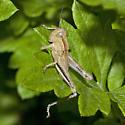 Grasshopper ZH3Z9112 - Melanoplus bivittatus