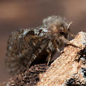 Unknown Moth - Korscheltellus gracilis