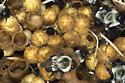 Bumblebee nest - Bombus impatiens - female
