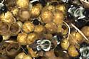 Bumblebee nest - Bombus impatiens - female